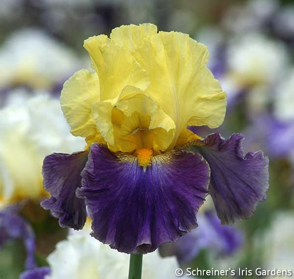 Island Hop | Yellow Iris