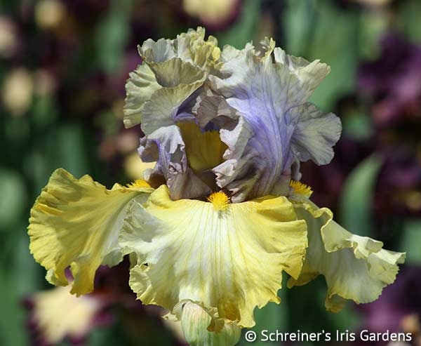 Let Evening Come | Tall Bearded Iris
