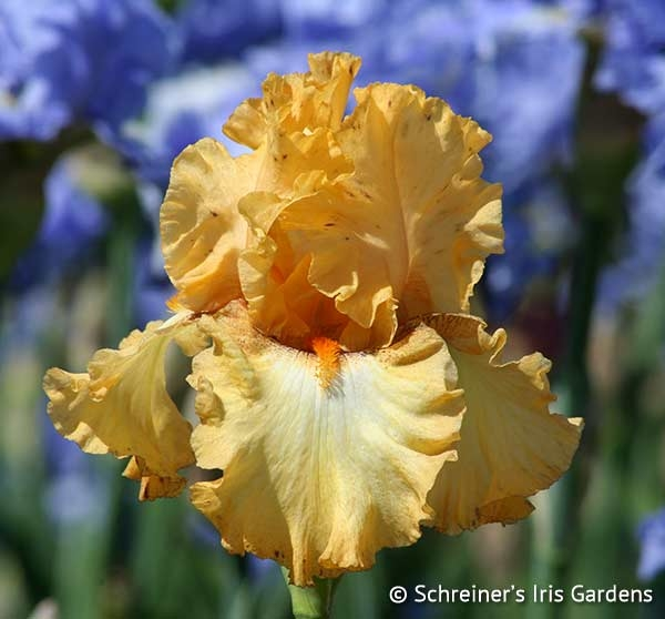 Butterlicious | Tall Bearded Iris