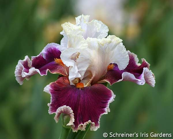 Breezin' | Red Iris