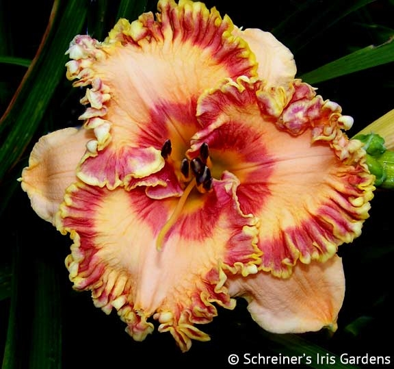 Candy Cane Lane|Maryott Daylilies