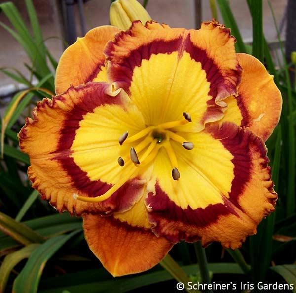 Evocative|Maryott Daylilies