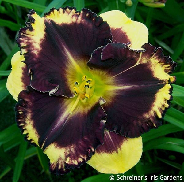 Deep Trance|Maryott Daylilies