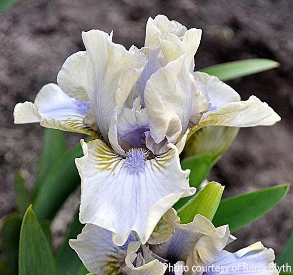 Baffle | Lavender Iris