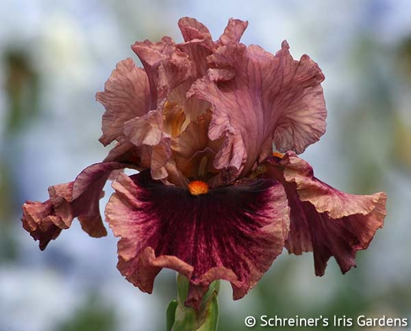Wildcat Red | Tall Bearded Iris