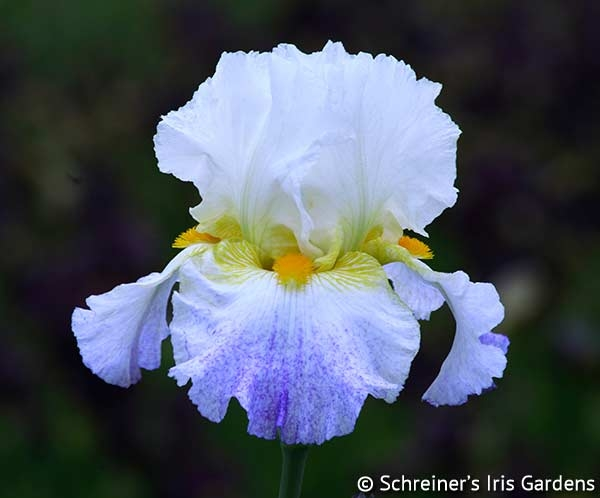 Arctic Burst | Tall Bearded Iris