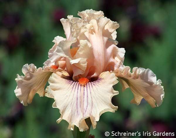 Center Line | Pink Iris
