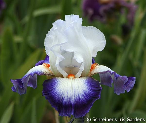 Cercle Bleu | Tall Bearded Iris