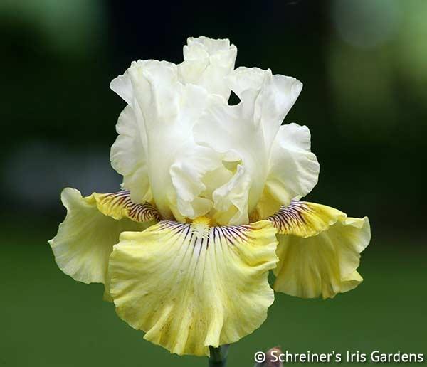 Fancy A Flutter | White Iris