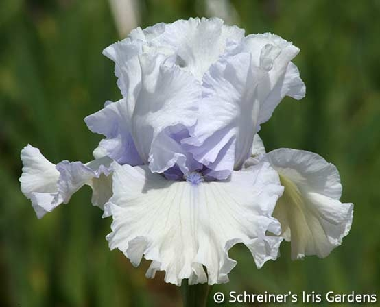 My Lady's Manor | Tall Bearded Iris
