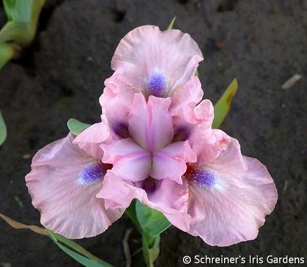 It's Amazing | Intermediate Bearded Iris