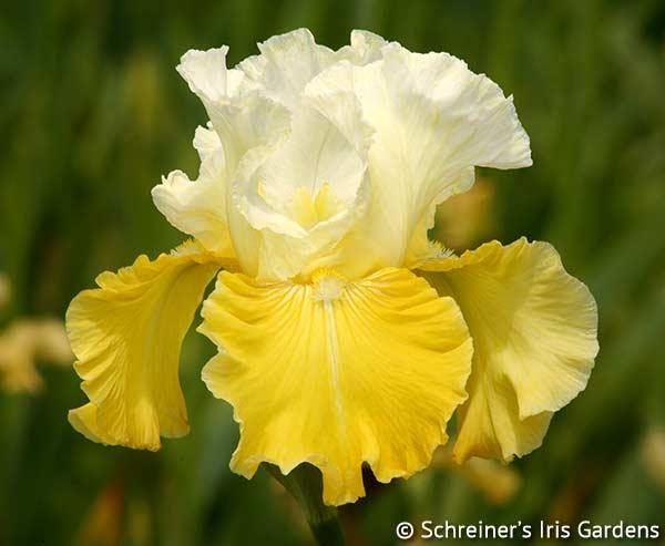 Lemon Cloud | Tall Bearded Iris