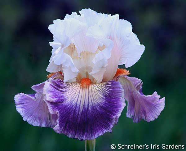 Pop Idol | Tall Bearded Iris