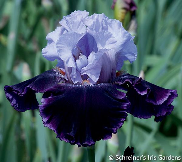 Lone Wolf | Tall Bearded Iris