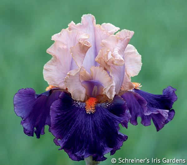 Petalpalooza | Earn FREE Iris