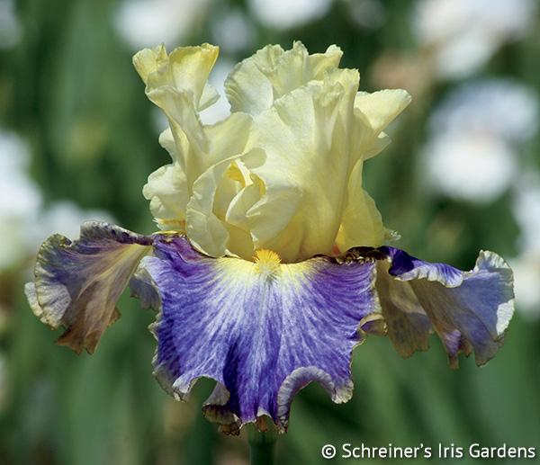 Sunny Glitter | Iris S-U