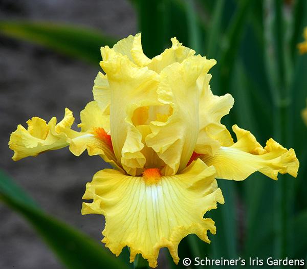 Dance Til Dawn | Fragrant Iris