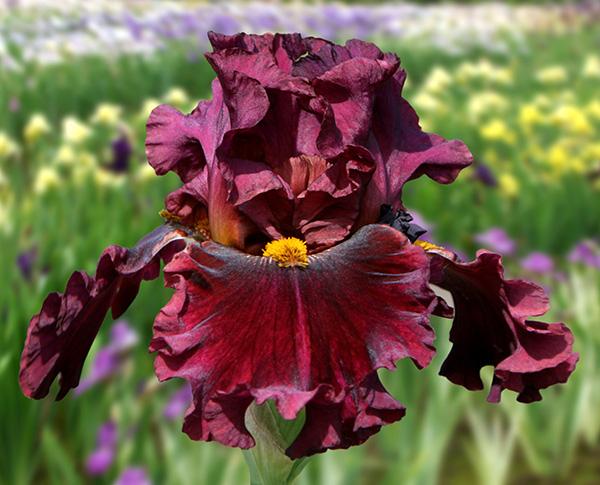Name Game | Tall Bearded Iris