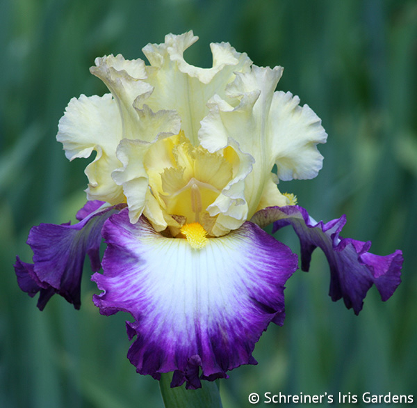Engagement Ring | Tall Bearded Iris