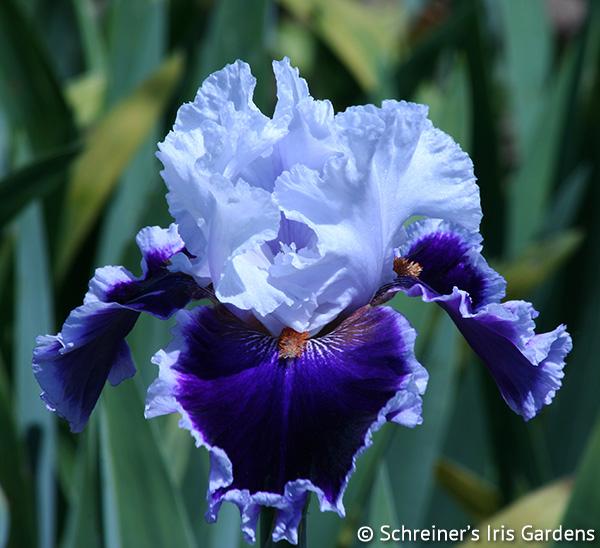Bravery | Tall Bearded Iris