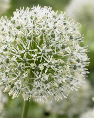 Mix and Match Giant Allium Collection | Allium Collections