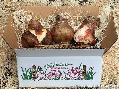 New! Amaryllis Bulbs image