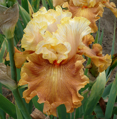 Beyond the Rainbow | Tall Bearded Iris