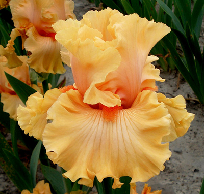 Cabana | Tall Bearded Iris
