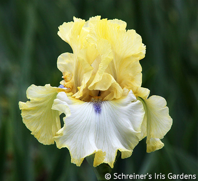Blind Ambition | Tall Bearded Iris