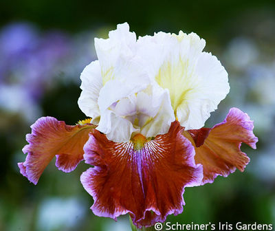 Lady Leigh | Red Iris