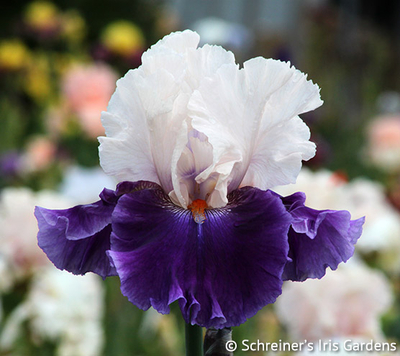 Aello | Tall Bearded Iris