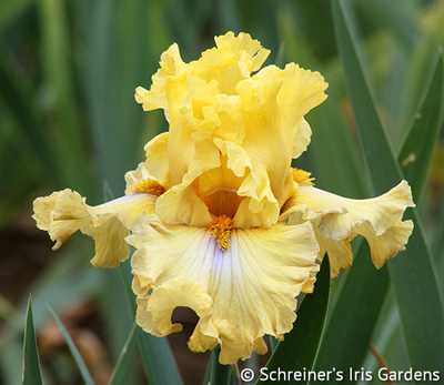Frilled to Bits | Tall Bearded Iris