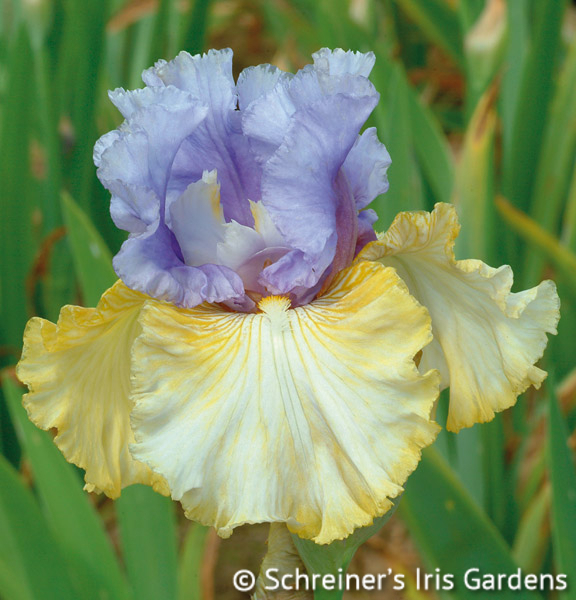 Party's Over | Tall Bearded Iris