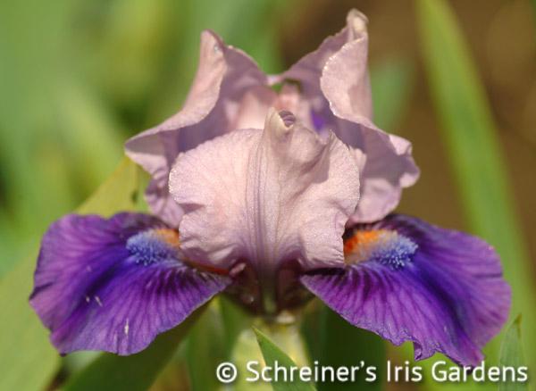 Pause   Iris P-R