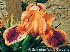 Pele | Iris P-R