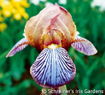 Persona   Border & Table Bearded Iris