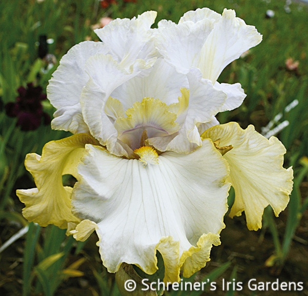 Pewter and Gold | Tall Bearded Iris