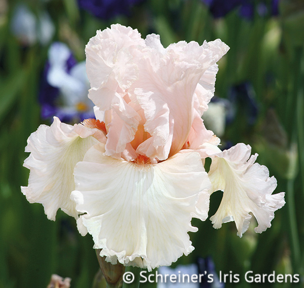 Picture Book | Pink Iris