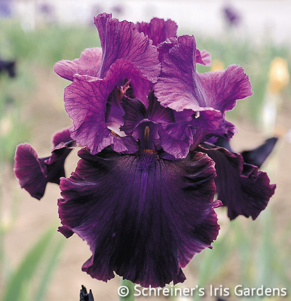 Plum Fun | Tall Bearded Iris