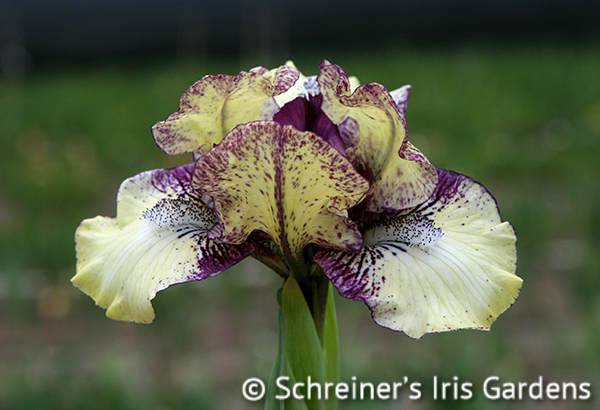 Purple Paws | Dwarf Bearded Iris