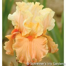 Rare Find | Tall Bearded Iris