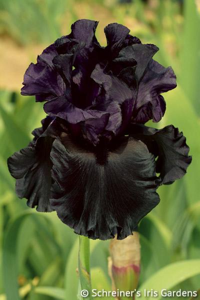Raven Girl | Black Iris