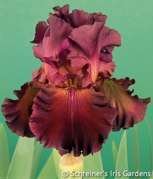 Red Hawk | Historical Bearded Iris