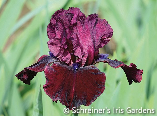 Redneck Girl | Tall Bearded Iris