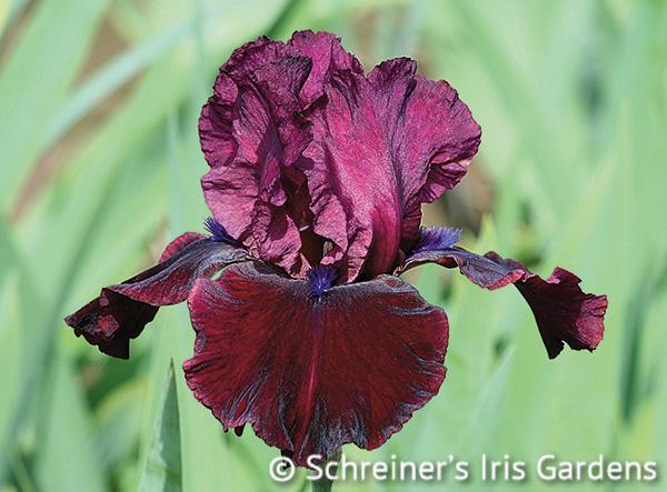 Redneck Girl | Red Iris