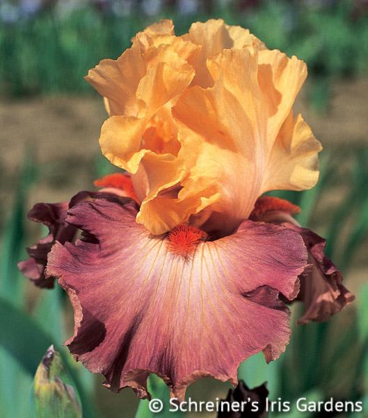 Rio | Tall Bearded Iris