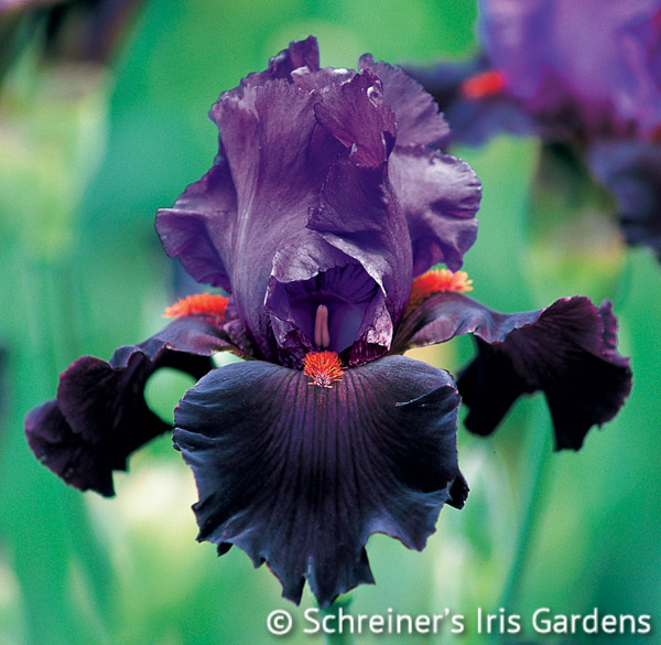 Romantic Evening | Tall Bearded Iris
