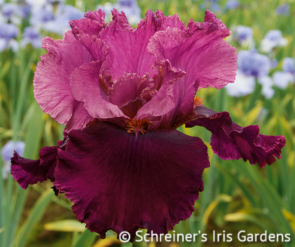 Rougissant | Tall Bearded Iris