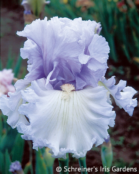 Royal Sterling | Tall Bearded Iris