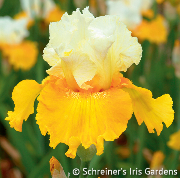 Salzburg Echo | Tall Bearded Iris